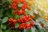 foto of rowan berry  - rowan tree - JPG