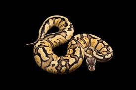 picture of pythons  - Female Ball Python  - JPG
