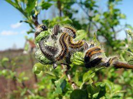 pic of inchworm  - Image of caterpillars wood apple tree green animals - JPG