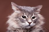 Funny Grumpy Cat In Studio On Brown Background poster