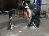 pic of clydesdale  - A farrier working on the hoof of a Clydesdale - JPG