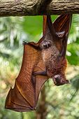 Постер, плакат: The Dark Knight Rises Large Malayan flying fox close up portrait