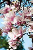 picture of saucer magnolia  - Close up of magnolia blossom in full bloom - JPG