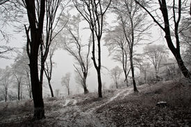 picture of snow forest  - Winter Forest - JPG