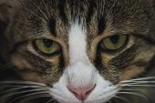 Cat Face Grey Cat With Green Eyes, Closeup Portrait poster