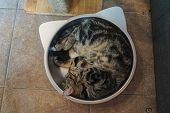 A Tabby Scottish Fold Cat In The Tray poster
