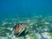 Sea Turtle In Tropical Seashore, Underwater Photo Of Marine Wildlife. Marine Turtle Undersea Closeup poster