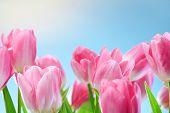 Постер, плакат: Тюльпаны цветы на голубое небо и солнце