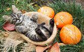 Striped Kitten In  Basket. Kitten With Pumpkins. Autumn Cat poster