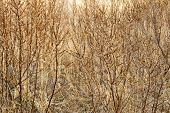 Natural Background Of Blackberry Bushes Branches. Dry Branches Of Trees. Bush Thickets. Dense Underg poster