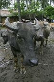 picture of carabao  - A Fiilipino water buffalo or  - JPG