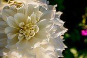 Blooming White Dahlia Flower In The Garden With Copy Space.beautiful Blooming White Dahlias. Selecti poster