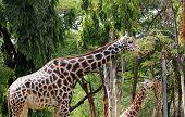 Постер, плакат: Фото изящные и нежные зрелых взрослых жираф и младший Жираф вегетарианской пищи