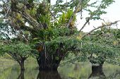 stock photo of epiphyte  - Rare photos of macrolobium trees in the flooded forest at Laguna Grande - JPG