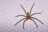 image of huntsman spider  - Huntsman spider on the bed in the house - JPG