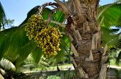 image of washingtonia  - Fruit of palm tree Washingtonia robusta - JPG