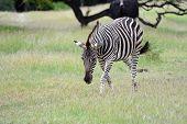 stock photo of mauritius  - Zebra in Casela park Mauritius island - JPG