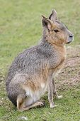 picture of wallabies  - A Lone Wallaby Found At local Zoo - JPG