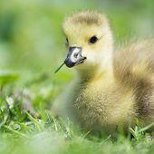 stock photo of baby goose  - Little baby Canada goose - JPG