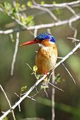 foto of malachite  - Malachite Kingfisher at Lake Panic in the Kruger National Park - JPG