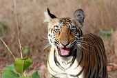 picture of tiger cub  - Laughing Tiger Cub - JPG