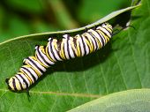 foto of green caterpillar  - Monarch Butterfly Caterpillar feeds on milkweed in Illinois - JPG