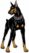 picture of doberman pinscher  - dog doberman pinscher breed - JPG