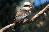 stock photo of kookaburra  - Australian kookaburra bird sitting on branch in tree - JPG