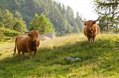 foto of highland-cattle  - two highland cattles grazing in mountain pasture - JPG