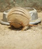 stock photo of armadillo  - Vertical photo of an armadillo rolling in - JPG