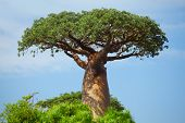 foto of baobab  - Green baobab at sunny day - JPG