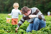 image of strawberry blonde  - Young father and little son on organic strawberry farm in summer picking berries - JPG