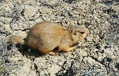 picture of gopher  - young yellow ground skorrel on dry ground - JPG