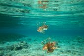pic of lion-fish  - Lion fish swimming under water - JPG