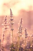 picture of clary  - Incredible Salvia in the morning sunrise vintage - JPG