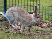 Grey Hare Running