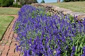 image of blue-salvia  - bed of blue salvia on a bright - JPG