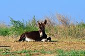 pic of snoopy  - Donkey is a domesticated member of the horse family - JPG