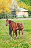 stock photo of mare foal  - Brown Chestnut Horse Foal Sucking from Mare on the farm ranch - JPG