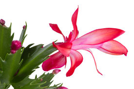 stock photo of schlumbergera  - Christmas Cactus schlumbergera isolated on white background - JPG