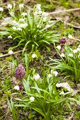 foto of butterbur  - spring snowflakes and butterburson meadow - JPG
