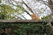 picture of tabby cat  - A striped tabby cat on a wall brown old wall made out of bricks - JPG