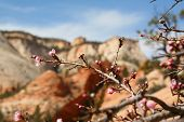 image of dogwood  - Flowering Dogwood among the rock layers in Zion National Park - JPG