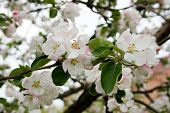 stock photo of planting trees  - Flowering of apple trees - JPG