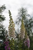pic of digitalis  - Beautiful Foxglove flower in the forest in summertime