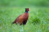 picture of pheasant  - Photo of wild common pheasant in a grass - JPG