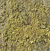 picture of lichenes  - closeup shot of some lichen on wooden ground - JPG
