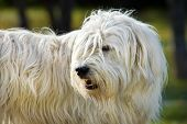 pic of sheep-dog  - South Russian Sheep Dog portrait in park - JPG
