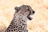 foto of cheetah  - Cheetah n the Masai Mara reserve in Kenya Africa - JPG