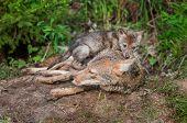 stock photo of coyote  - Coyote  - JPG